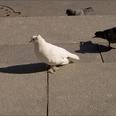 голуби на Дворцовой