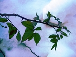 Ветка розы на фоне снега