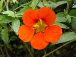 Цветок Нстурции