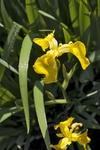 Желтые ирисы
