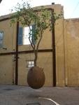 Дерево жизни в Израиле