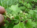 Моховая смородина.(ягодки ещё зеленые).